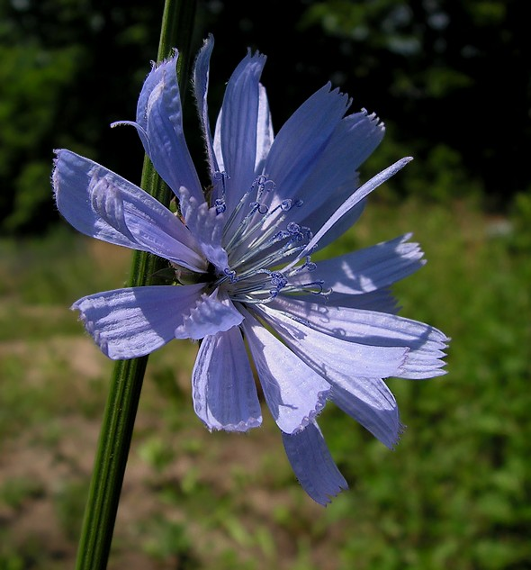Cykoria podróżnik - Cichorium intybus