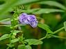 Scutellaria galericulata