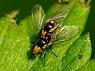 Liriomyza sp.