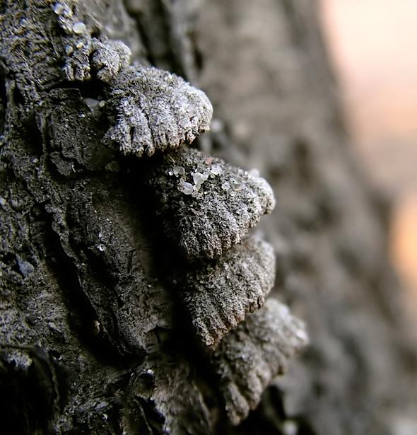 grzyb nadrzewny