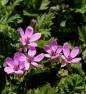 Iglica pospolita - Erodium cicutarium