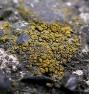 jaskrawiec obojętny - Caloplaca holocarpa