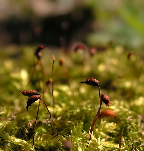 krótkosz - Brachythecium sp.