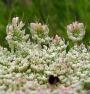 Marchew zwyczajna - Daucus carota