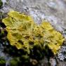 złotorost ścienny - Xanthoria parietina