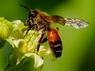 Andrena cf. florea