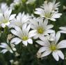 rogownica polna - Cerastium arvense