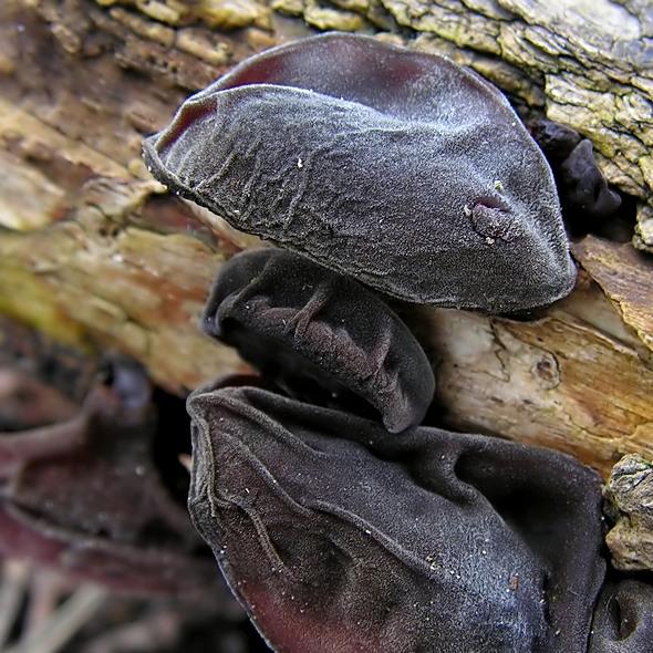 uszak bzowy - Hirneola auricula-judae