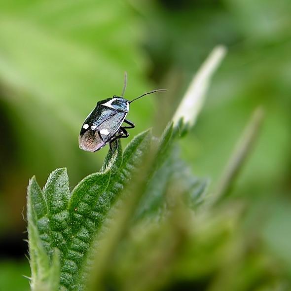 warzywnica kapustna - Eurydema oleraceum