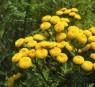 wrotycz pospolity - Tanacetum vulgare