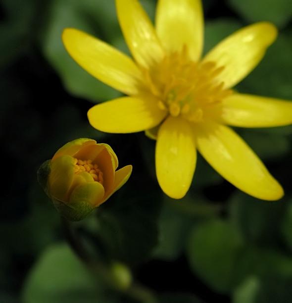 ziarnopłon wiosenny - Ficaria verna