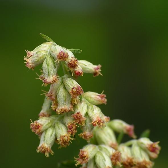 bylica pospolita - Artemisia vulgaris