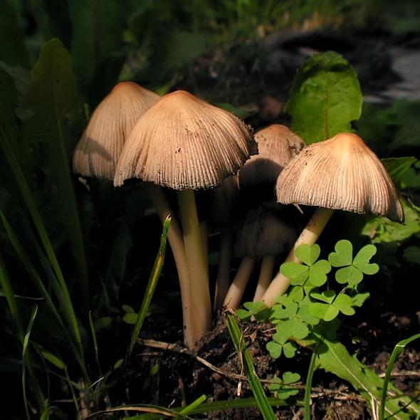 czernidłak - Coprinus sp.