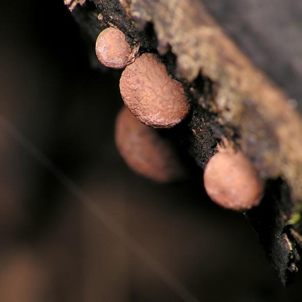 drewniak - Hypoxylon sp.