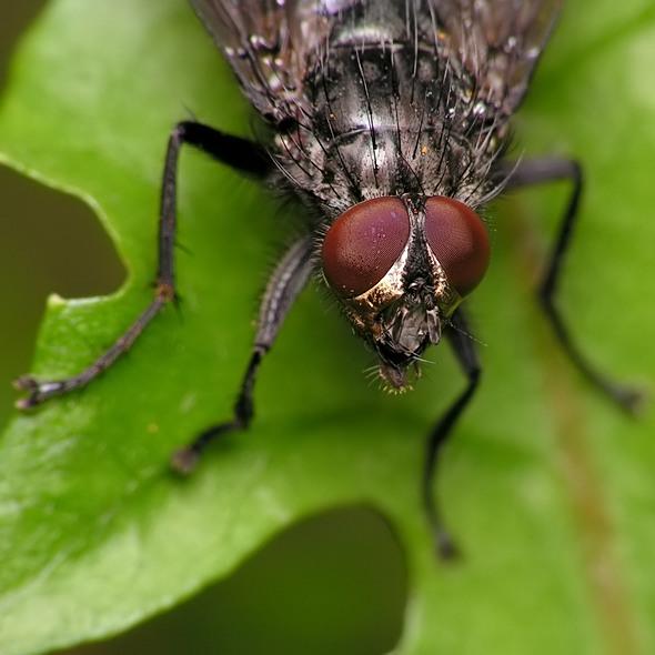 Bellardia sp.