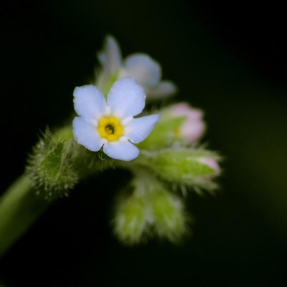niezapominajka polna - Myosotis arvensis