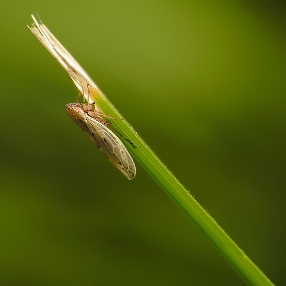 Psammotettix alienus