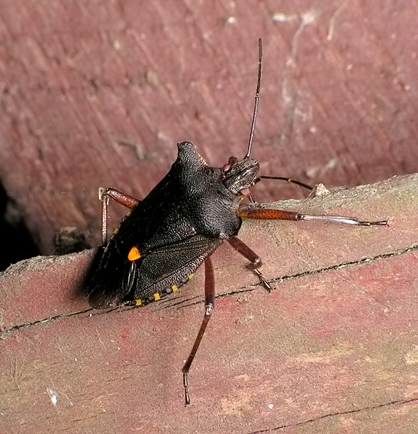 tarczówka rudonoga - Pentatoma rufipes