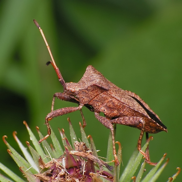 wtyk straszyk - Coreus marginatus