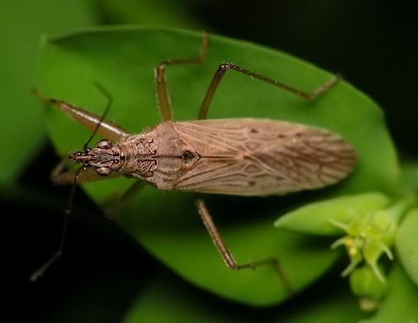 Nabis ferus/pseudoferus