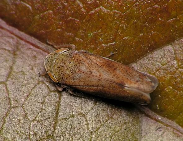 Fieberiella septentrionalis