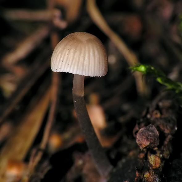grzybówka