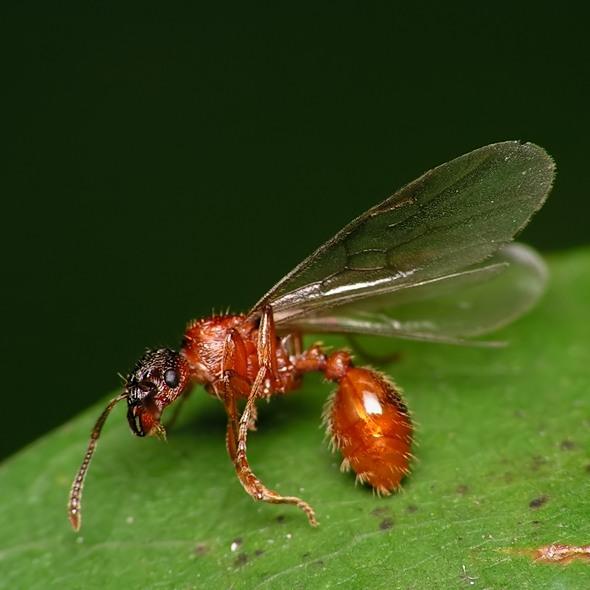 Myrmica sp.
