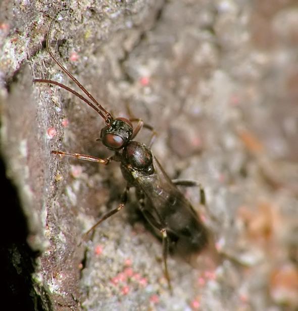 Gelis cf. longicauda