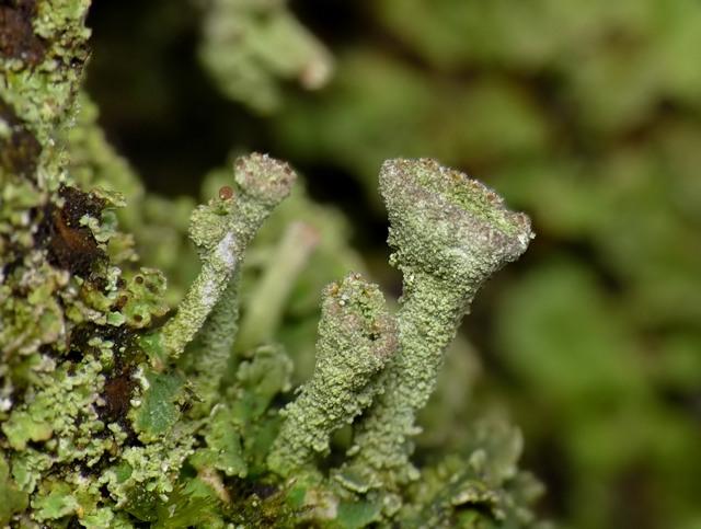 Cladonia pyxidata?