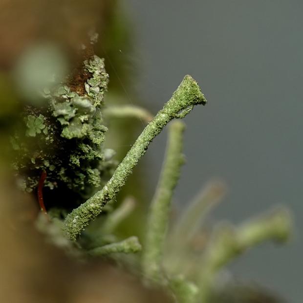 Cladonia sp.