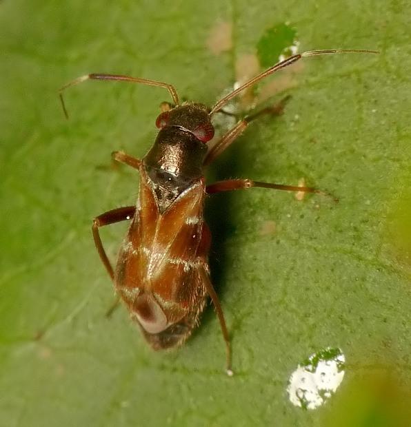 Pilophorus perplexus/confusus