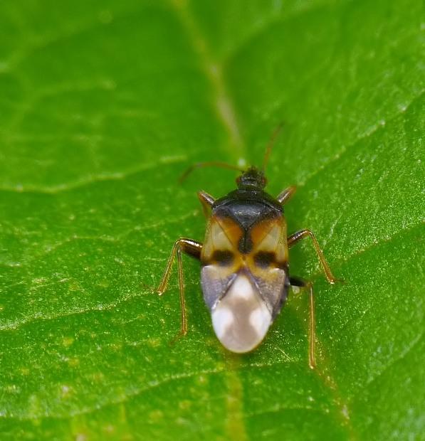 Anthocoris sp.