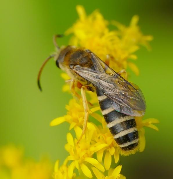 Halictus sexcinctus