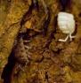 Oniscus sp.