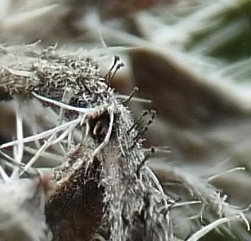 grzyb na żmijowcu