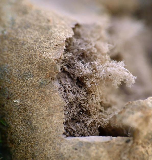 Reticularia lycoperdon