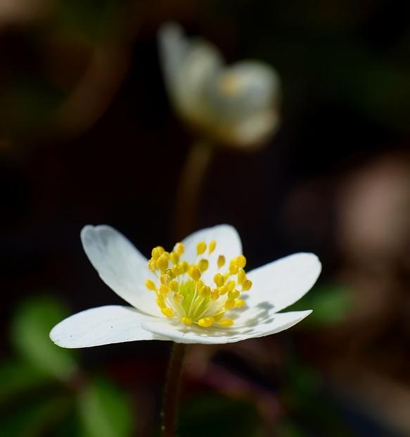 Anemone nemorosa
