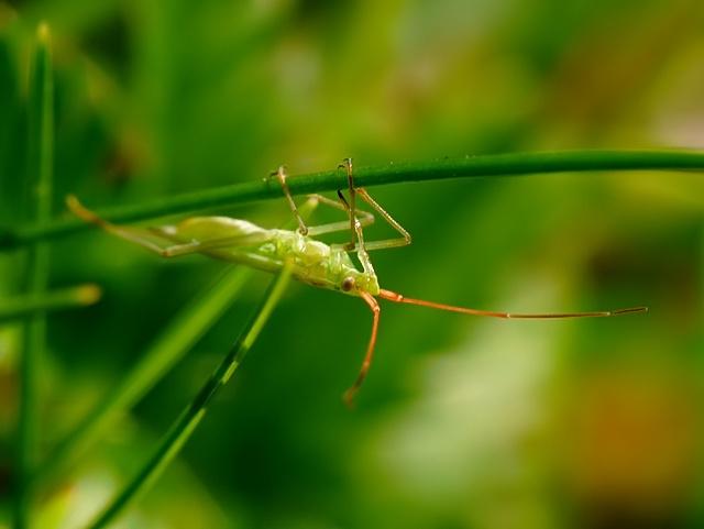Trigonotylus sp.