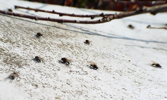 chwastowisko.files.wordpress.com/2012/06/anthomyiidae25c.jpg