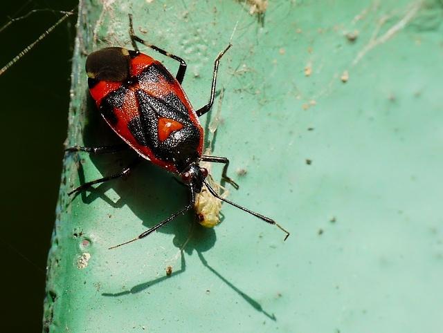 Deraeocoris trifasciatus