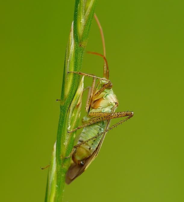 Adelphocoris lineolatus