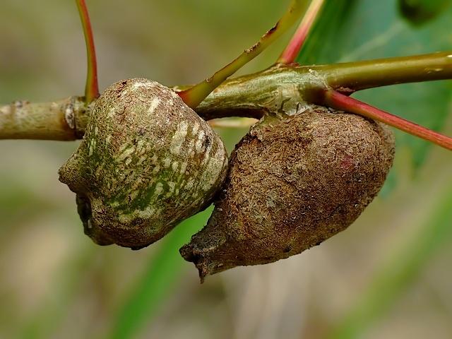 Pemphigus bursarius