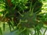 Chermes viridis?