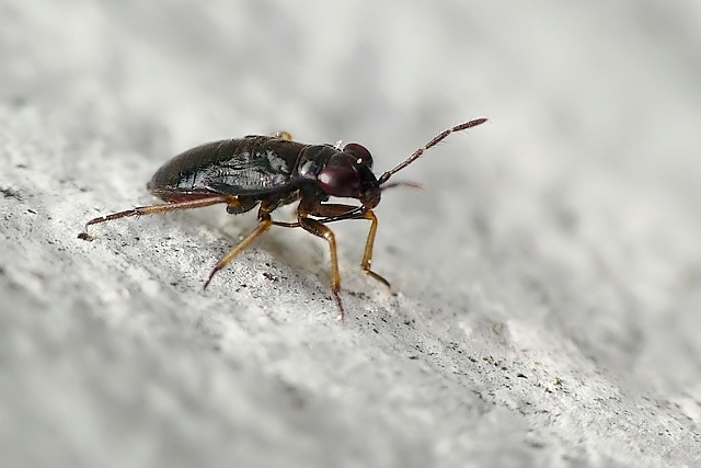 Geocoris sp.?
