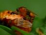 Phalacrotophora sp.