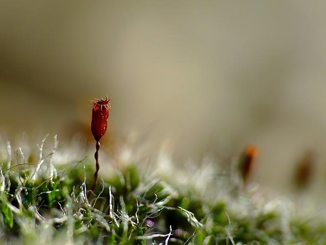 Grimmia pulvinata