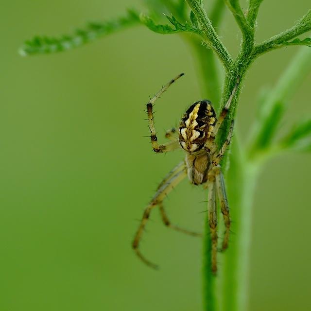 araneidae14b