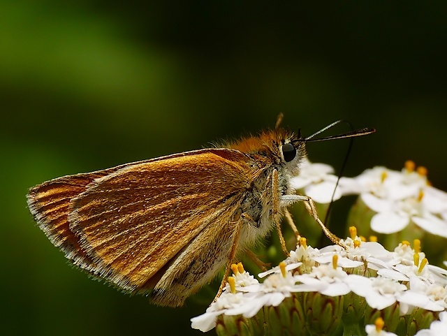 Thymelicus sylvestris?