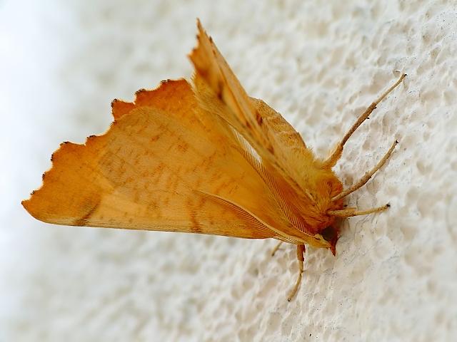 Ennomos autumnaria