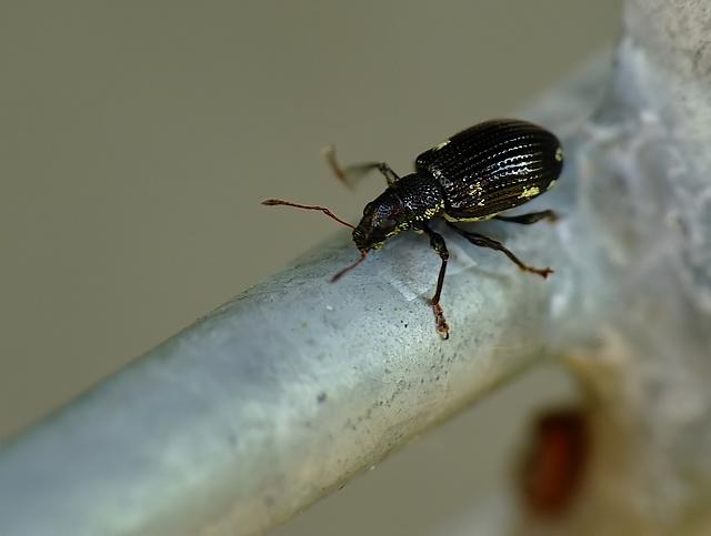 Polydrusus picus